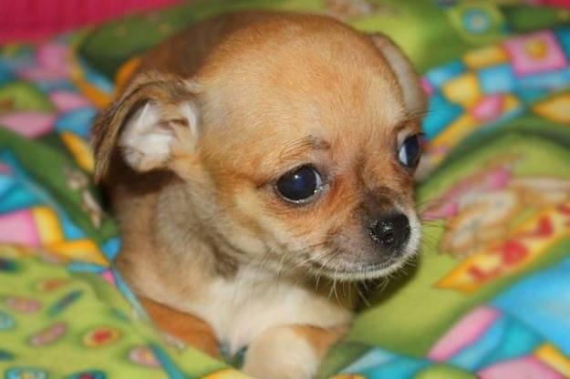 Laila - Chihuahua (1 anno)