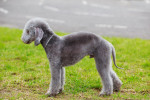 Foto Bedlington Terrier