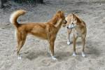 Foto Dingo