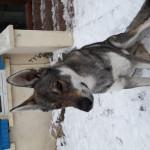 Leo - Lupo Maschio (1 anno)