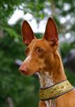 Foto Cane del faraone