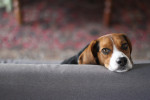 Foto Beagle