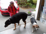 clarissa - Beagle Maschio (4 anni)