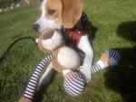 Pup - Beagle Maschio (8 mesi)