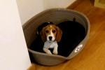 Tara - Beagle (3 mesi)