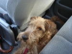 Galice - Terrier irlandese (2 anni)