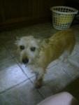 rusty - Terrier irlandese Maschio (9 anni)