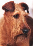 Irish Terrier - Terrier irlandese