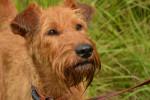 Foto Terrier irlandese