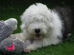 Hooper Bobtail à 6 mois - Bobtail (6 mesi)
