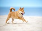 Un chiot Shiba Inu courant sur la plage