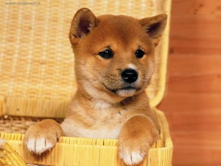 Desy - Shiba Inu (1 mese)