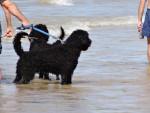 Port. Wasserhund - Cane d'acqua portoghese Maschio