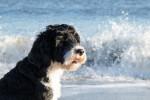 Foto Cane d'acqua portoghese