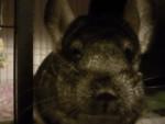 Cincillà buffy - ( (2 anni))