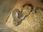 Coniglio medio Pandora - ( (5 mesi))