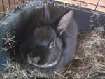 Coniglio nano Noirot (DCD) - Maschio ( (2 anni))