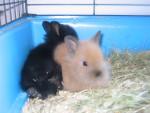 Coniglio lapinou - ( (1 anno))
