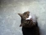 Gatto Lacy - ( (9 anni))