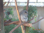 Lucioperca Koala - ( (2 anni))