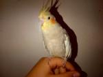 Pappagallini peanut - ( (1 anno))