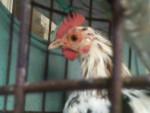 Pollo DALMATA - ( (1 anno))