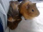 Porcellino d'India Les 2 Cochon d'Inde - Maschio ( (3 anni))