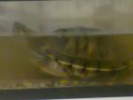Tartaruga Tortuga - Maschio ( (7 anni))