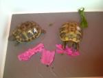 Tartaruga Doris und Berta - ( (1 mese))